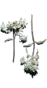 Edelweiss bio