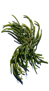 Salicornia bio