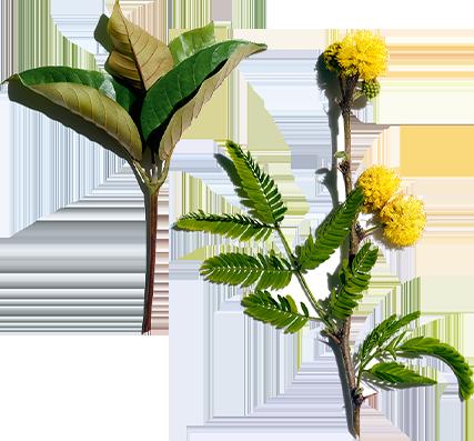 Harungana y Flor de grosella