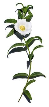 Jaguarzo negro de Montpellier