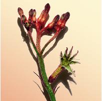 Flor canguro