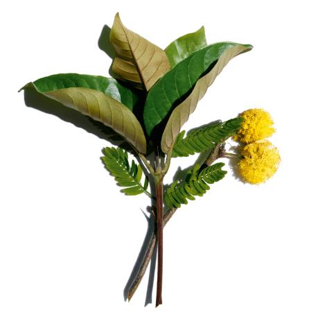 Harungana bio y flor de espinillo blanco