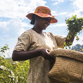 Mujer llevando una cesta de Centella asiática