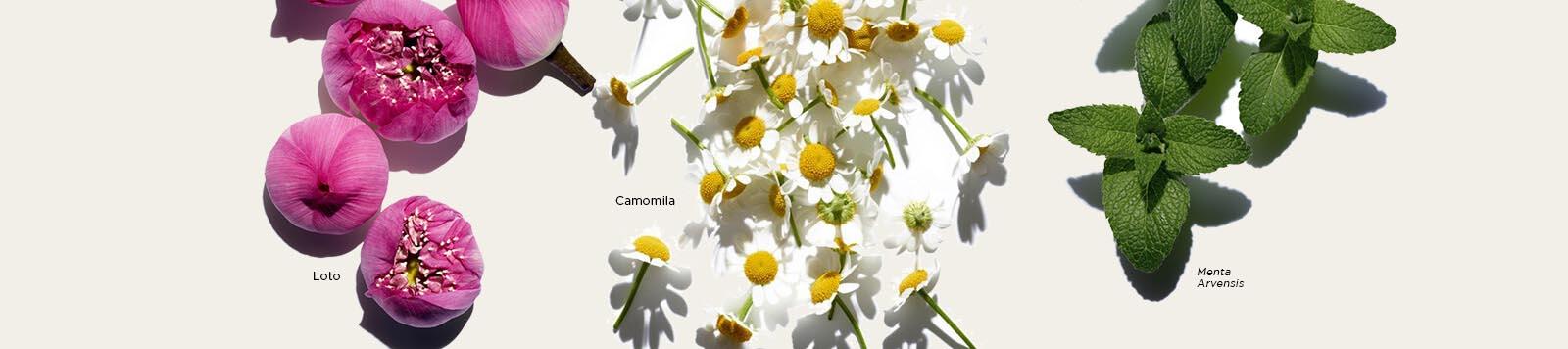 Imágenes de ingredientes Lotus, Manzanilla y Menta Arvensis